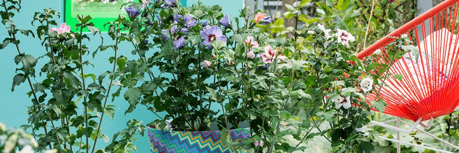 hibiscus_terrasplant_vd_maand-kopie.png
