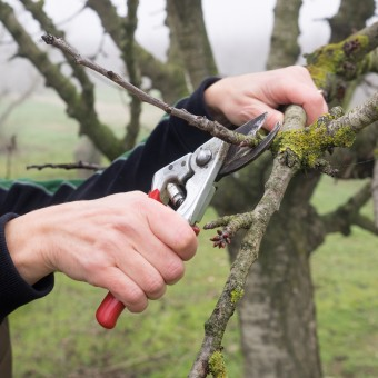 Hand of a woman pruning a young tree with pruning shears, in a field in autumn on a foggy day